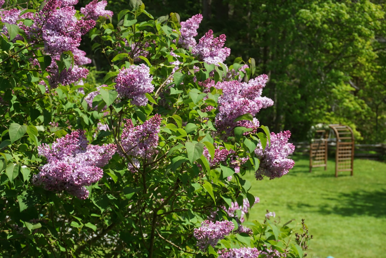 Lilacs With Lattice Arch In The Distance